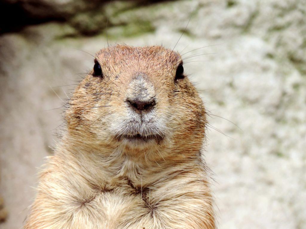 Groundhog ar gyfer erthygl Covid19 cadw rheolaeth iechyd meddwl